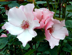 aug-rose