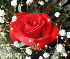 February Red Rose and Babys Breath