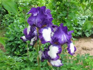 iris-for-april